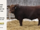 red-angus-bull-for-sale-2461_8283