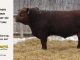 red-angus-bull-for-sale-2461_8284