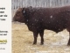 red-angus-bull-for-sale-2461_8324