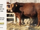 red-angus-bull-for-sale-2461_8636