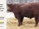 red-angus-bull-for-sale-2462_8212