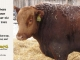 red-angus-bull-for-sale-2462_8213