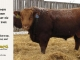 red-angus-bull-for-sale-2462_8215