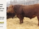 red-angus-bull-for-sale-2465_8316