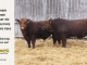 red-angus-bull-for-sale-2466-2559_8270