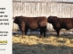 red-angus-bull-for-sale-2469_2293_8639