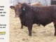 red-angus-bull-for-sale-2469_8261