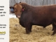 red-angus-bull-for-sale-2477_8207