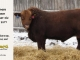 red-angus-bull-for-sale-2477_8208
