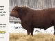 red-angus-bull-for-sale-2477_8209