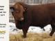red-angus-bull-for-sale-2477_8211
