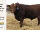 red-angus-bull-for-sale-2481_8299