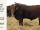 red-angus-bull-for-sale-2481_8300