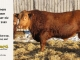 red-angus-bull-for-sale-2485_8646