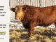 red-angus-bull-for-sale-2485_8647