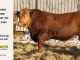 red-angus-bull-for-sale-2485_8649