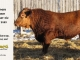 red-angus-bull-for-sale-2485_8650