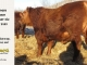 red-angus-bull-for-sale-2485_8657