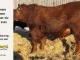 red-angus-bull-for-sale-2485_8658