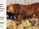 red-angus-bull-for-sale-2485_8660