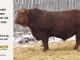 red-angus-bull-for-sale-2486_8304