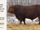 red-angus-bull-for-sale-2486_8305