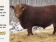 red-angus-bull-for-sale-2486_8307