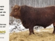 red-angus-bull-for-sale-2486_8308