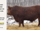 red-angus-bull-for-sale-2486_8310