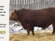 red-angus-bull-for-sale-2486_8311