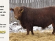 red-angus-bull-for-sale-2486_8312