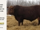 red-angus-bull-for-sale-2486_8317