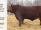 red-angus-bull-for-sale-2486_8319