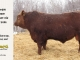 red-angus-bull-for-sale-2486_8320