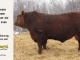 red-angus-bull-for-sale-2486_8321