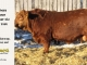red-angus-bull-for-sale-2486_8641