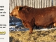red-angus-bull-for-sale-2486_8642