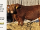 red-angus-bull-for-sale-2486_8643