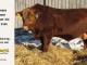 red-angus-bull-for-sale-2486_8656