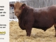 red-angus-bull-for-sale-2490_8195