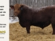 red-angus-bull-for-sale-2490_8197