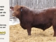 red-angus-bull-for-sale-2490_8198