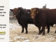 red-angus-bull-for-sale-2491_2560_8253