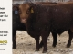red-angus-bull-for-sale-2491_8252