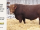 red-angus-bull-for-sale-2495_8233