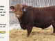 red-angus-bull-for-sale-2495_8242