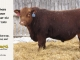 red-angus-bull-for-sale-2495_8243