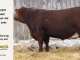 red-angus-bull-for-sale-2495_8247