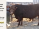 red-angus-bull-for-sale-2495_8628