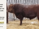 red-angus-bull-for-sale-2502_8277